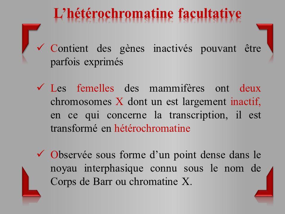 Contient des gènes inactivés pouvant être parfois exprimés Les femelles des mammifères ont deux chromosomes X dont un est largement inactif, en ce qui concerne la transcription, il est transformé en hétérochromatine Observée sous forme dun point dense dans le noyau interphasique connu sous le nom de Corps de Barr ou chromatine X.