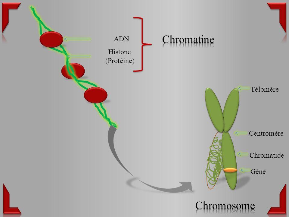 ADN Histone (Protéine) Centromère Chromatide Gène Télomère