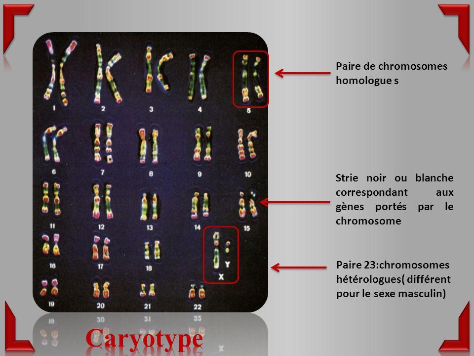 Paire de chromosomes homologue s Paire 23:chromosomes hétérologues( différent pour le sexe masculin) Strie noir ou blanche correspondant aux gènes portés par le chromosome