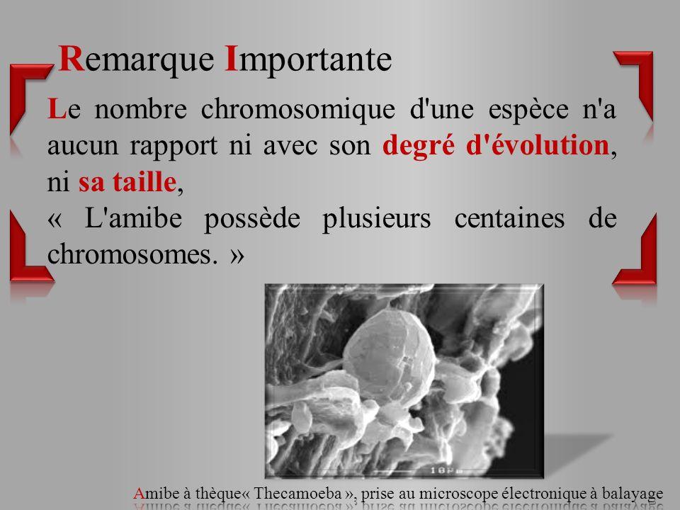 Le nombre chromosomique d une espèce n a aucun rapport ni avec son degré d évolution, ni sa taille, « L amibe possède plusieurs centaines de chromosomes.