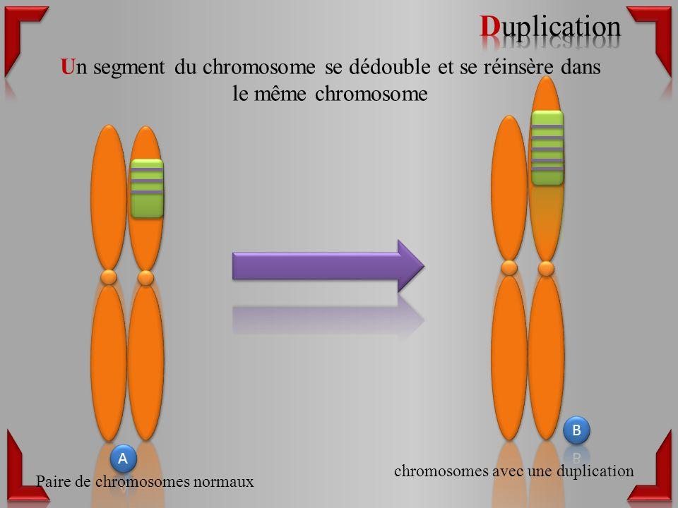 Un segment du chromosome se dédouble et se réinsère dans le même chromosome Paire de chromosomes normaux chromosomes avec une duplication
