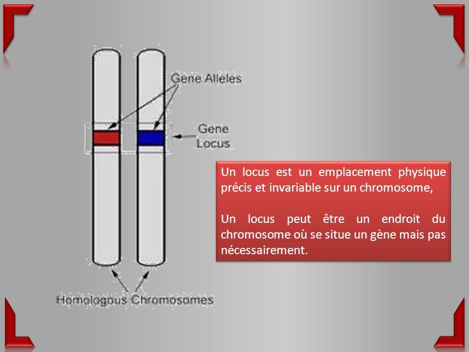 Un locus est un emplacement physique précis et invariable sur un chromosome, Un locus peut être un endroit du chromosome où se situe un gène mais pas nécessairement.