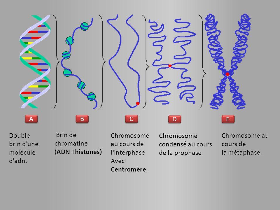 A A B B C C E E D D Double brin d une molécule d adn.