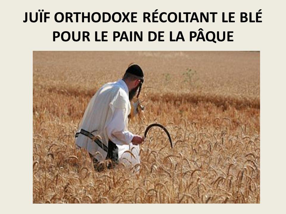 JUÏF ORTHODOXE RÉCOLTANT LE BLÉ POUR LE PAIN DE LA PÂQUE