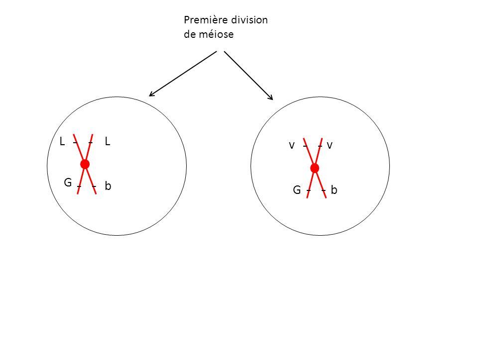 Première division de méiose L G b L v G v b