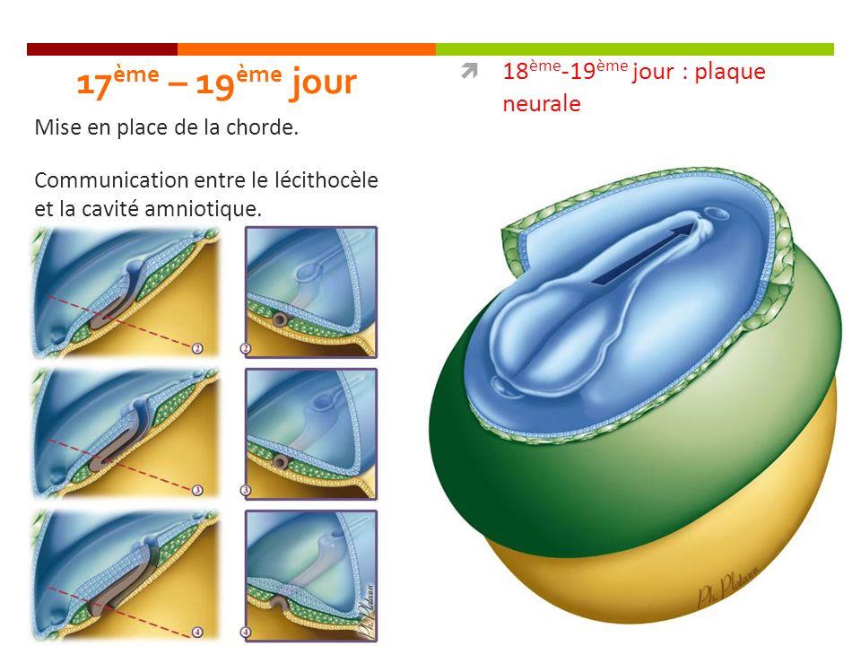 17 ème – 19 ème jour 18 ème -19 ème jour : plaque neurale Mise en place de la chorde. Communication entre le lécithocèle et la cavité amniotique.