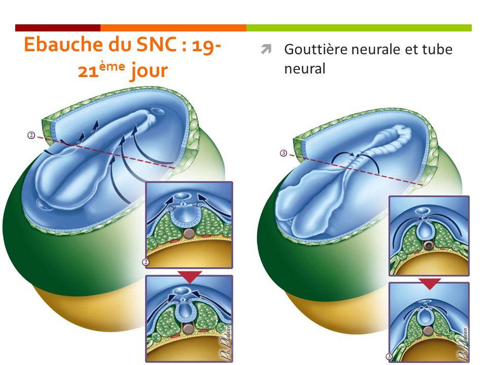 Ebauche du SNC : 19- 21 ème jour Gouttière neurale et tube neural