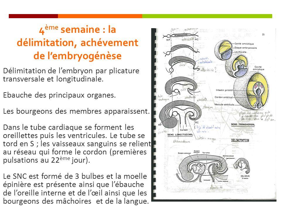 4 ème semaine : la délimitation, achévement de lembryogénèse Délimitation de lembryon par plicature transversale et longitudinale. Ebauche des princip