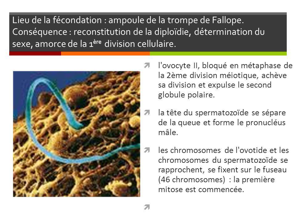 3 étapes successives : Circulation embryonnaire (4éme semaine) = mise en communication du tube cardiaque primitif avec les veines et artères primitives.