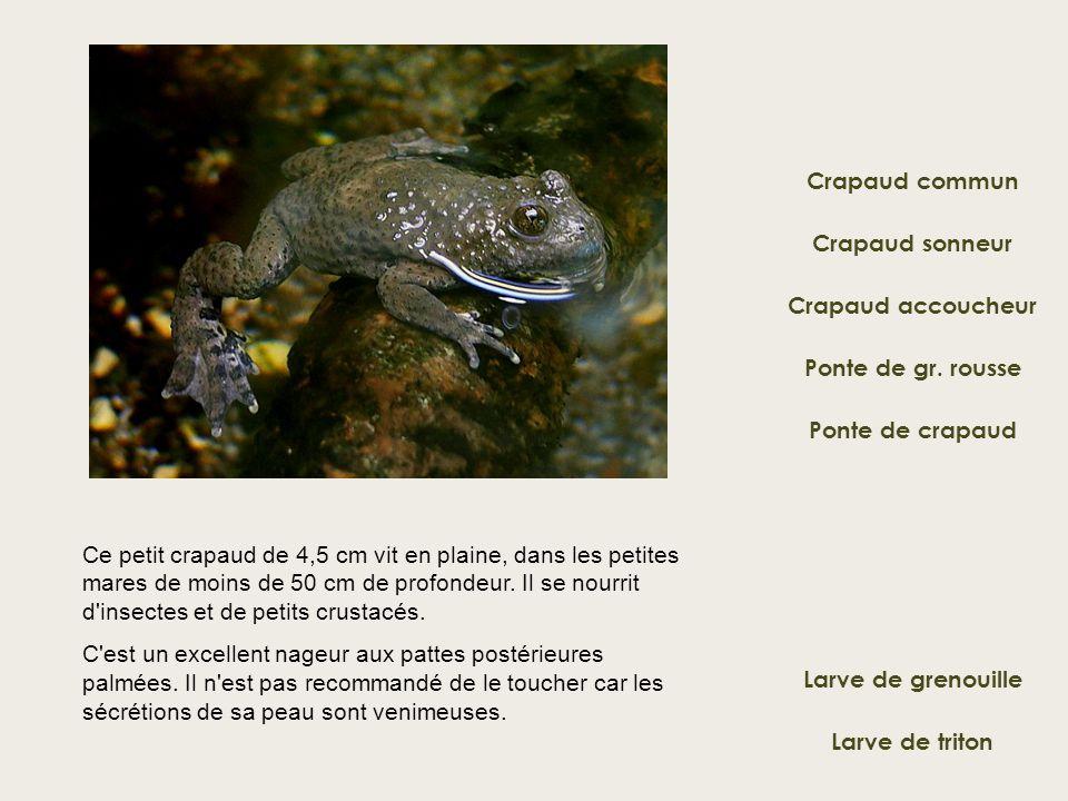 Crapaud commun Crapaud sonneur Ponte de gr. rousse Crapaud accoucheur Ponte de crapaud Ce petit crapaud de 4,5 cm vit en plaine, dans les petites mare