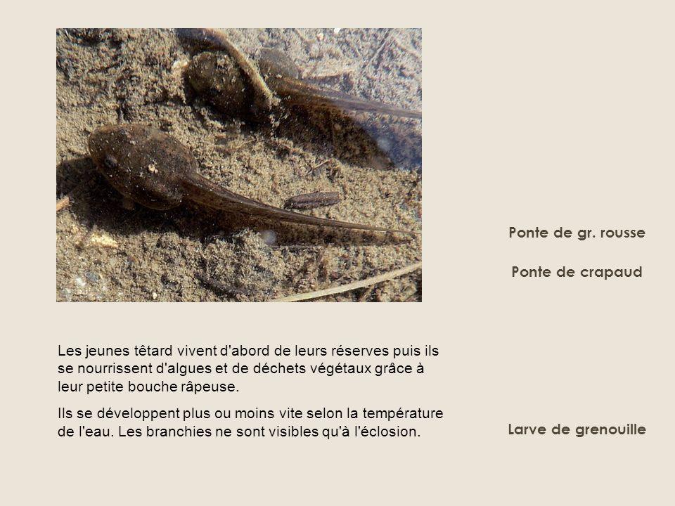 Ponte de gr. rousse Ponte de crapaud Les jeunes têtard vivent d'abord de leurs réserves puis ils se nourrissent d'algues et de déchets végétaux grâce