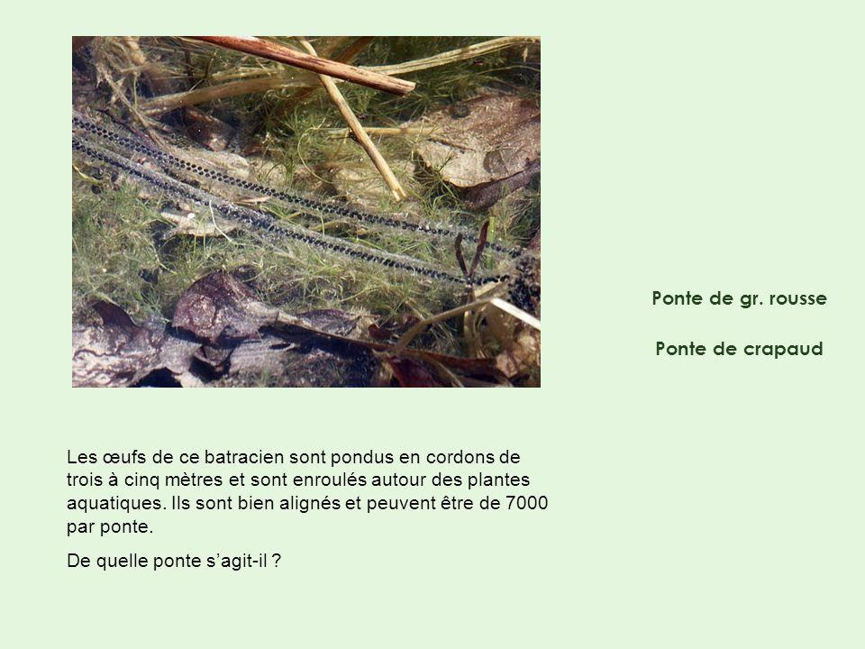 Ponte de gr. rousse Ponte de crapaud Les œufs de ce batracien sont pondus en cordons de trois à cinq mètres et sont enroulés autour des plantes aquati