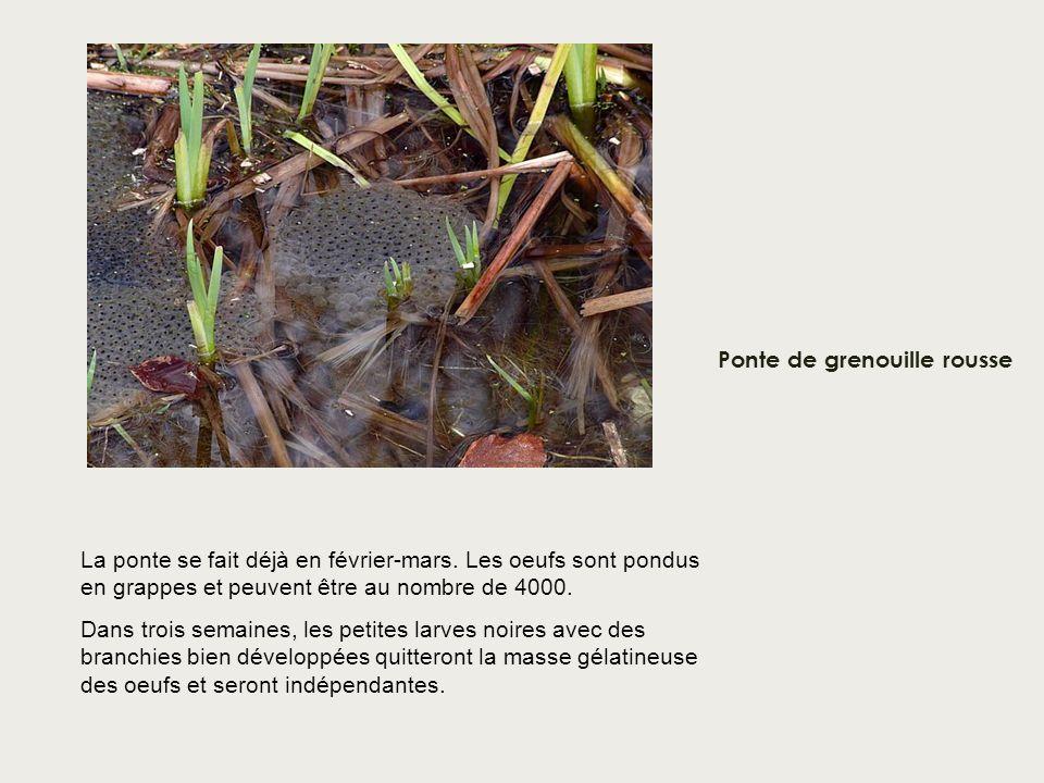 Ponte de grenouille rousse La ponte se fait déjà en février-mars. Les oeufs sont pondus en grappes et peuvent être au nombre de 4000. Dans trois semai