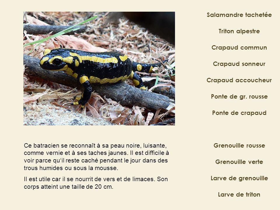 Salamandre tachetée Crapaud commun Crapaud sonneur Ponte de gr. rousse Crapaud accoucheur Grenouille rousse Grenouille verte Triton alpestre Ponte de