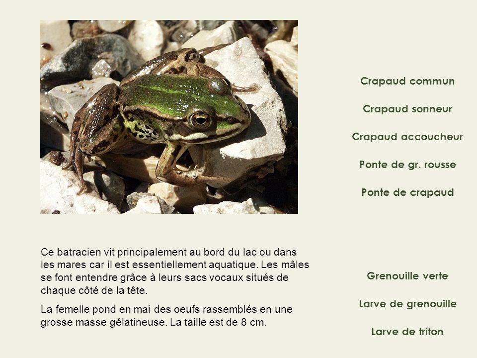 Crapaud commun Crapaud sonneur Ponte de gr. rousse Crapaud accoucheur Grenouille verte Ponte de crapaud Ce batracien vit principalement au bord du lac