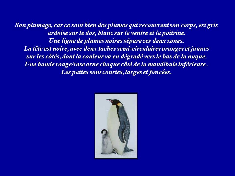 Le Manchot Empereur est un oiseau extraordinaire. il ne peut absolument pas voler mais est parfaitement adapté à la nage. Un adulte mesure 1 mètre 20