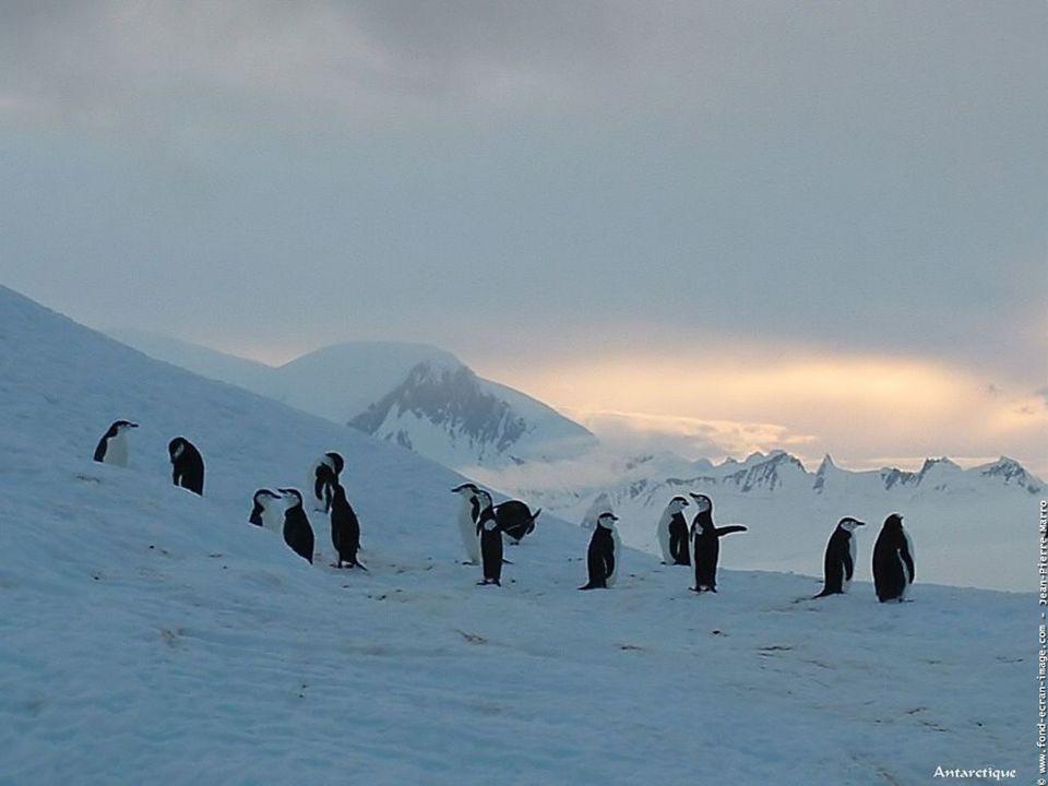 Le manchot empereur partage sa vie entre la mer et la bordure du continent antarctique. Si en mer il nage seul ou en petits groupes pour trouver sa no