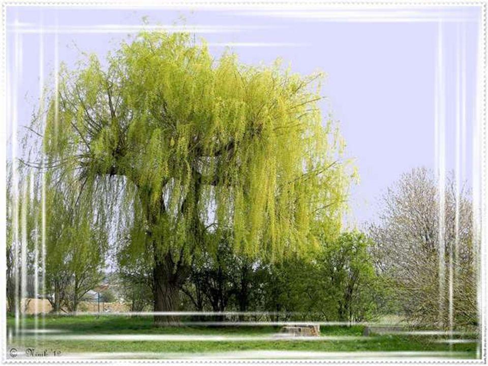 Maman soupire et vient à la fenêtre ouverte. « oui, cest vrai, tu as raison, le saule aux branches vertes Et le lilas fleuri… mais comment fais-tu don