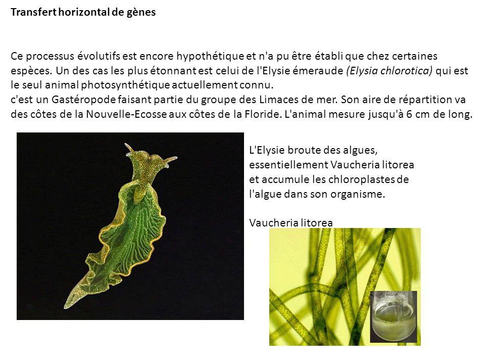 Lorsque l animal possède assez de chloroplastes, il peut vivre une dizaine de mois (sa durée de vie) uniquement pas photosynthèse.