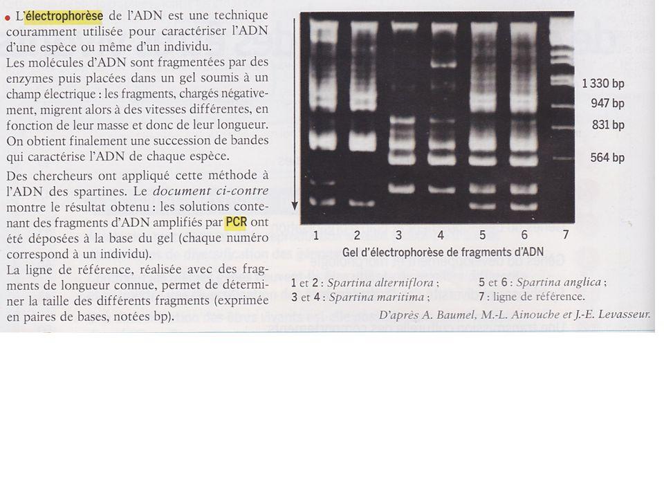 Deux origines pour les polyploïdes AUTOPOLYPLOIDE : duplication des chromosomes au sein de la même espèce Pomme de terre - 4n - 48 chromosomes Banane – 3n – 33 chromosomes Cacahuète – 4n– 40 chromosomes ALLOPOLYPLOIDE : Hybridation entre deux ou plusieurs espèces Tabac – 4n – 48 chromosomes Coton – 4n – 52 chromosomes Blé tendre – 6n – 42 chromosomes Avoine – 6n – 42 chromosomes Canne à sucre – 8n – 80 chromosomes Fraise – 8n –56 chromosomes