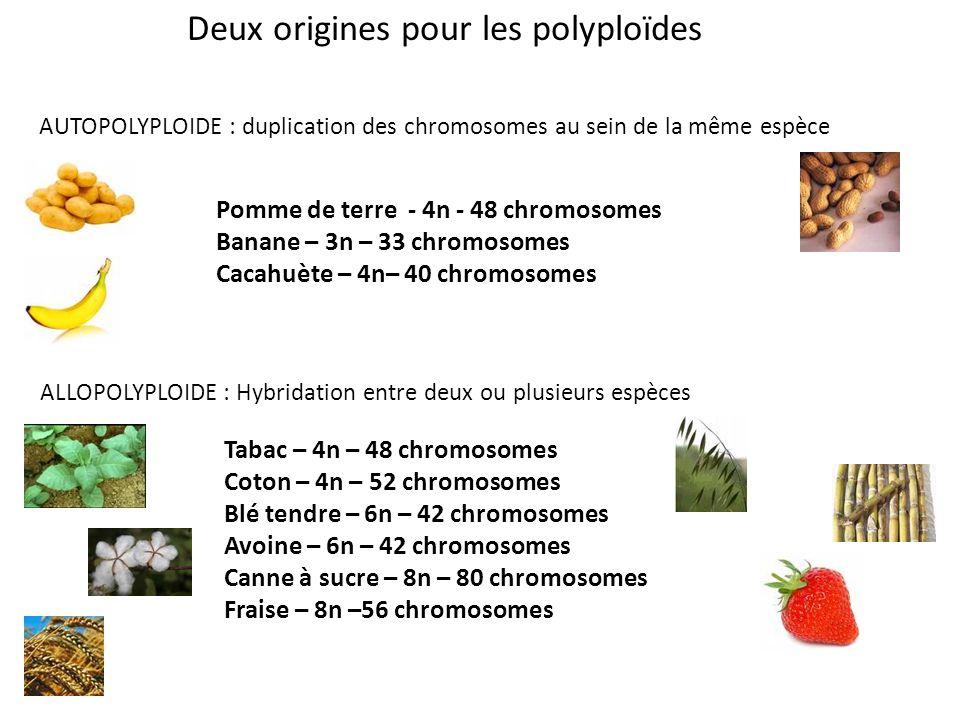 Deux origines pour les polyploïdes AUTOPOLYPLOIDE : duplication des chromosomes au sein de la même espèce Pomme de terre - 4n - 48 chromosomes Banane