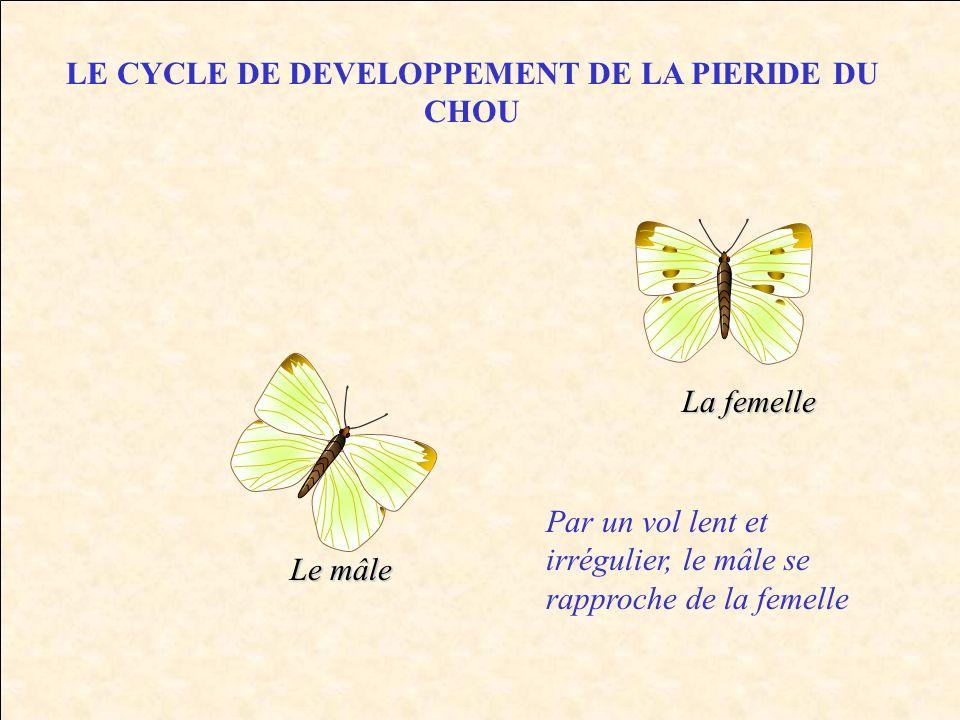 LE CYCLE DE DEVELOPPEMENT DE LA PIERIDE DU CHOU Le mâle La femelle Par un vol lent et irrégulier, le mâle se rapproche de la femelle