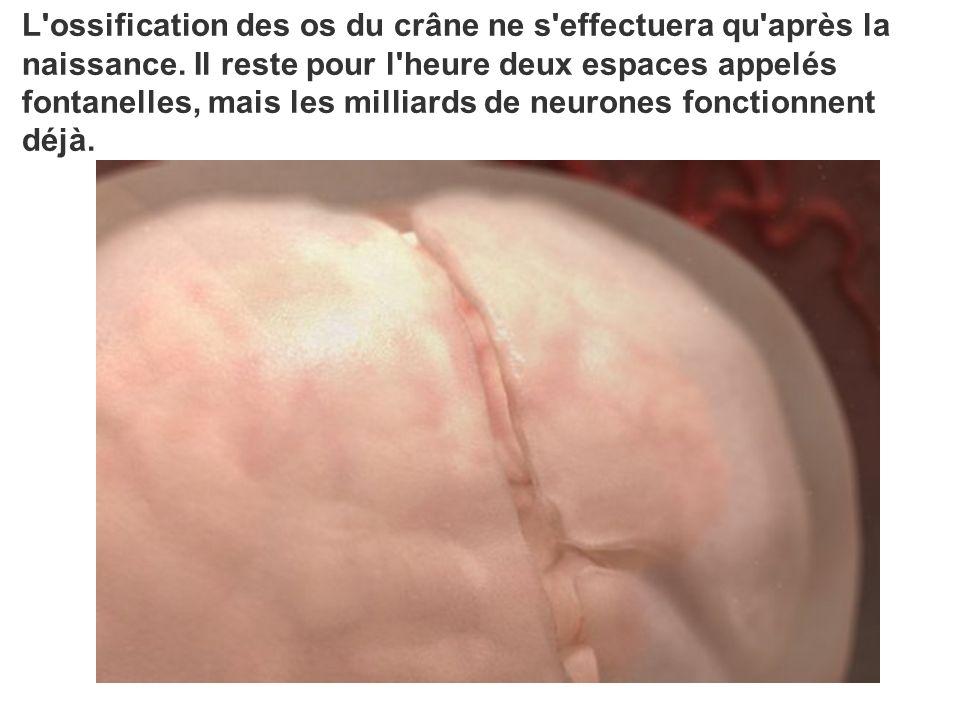 L'ossification des os du crâne ne s'effectuera qu'après la naissance. Il reste pour l'heure deux espaces appelés fontanelles, mais les milliards de ne