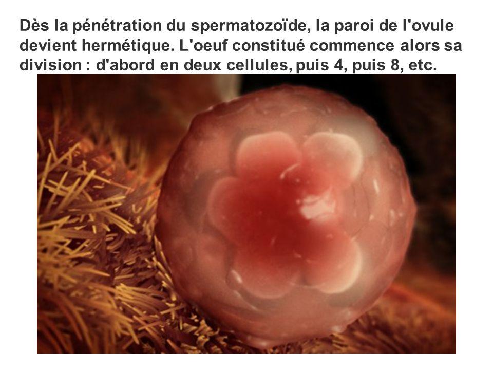 Dès la pénétration du spermatozoïde, la paroi de l'ovule devient hermétique. L'oeuf constitué commence alors sa division : d'abord en deux cellules, p