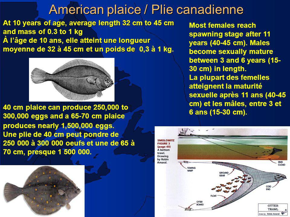 Poisson de fond /Groundfish, Mar. 2003 American plaice / Plie canadienne 40 cm plaice can produce 250,000 to 300,000 eggs and a 65-70 cm plaice produc