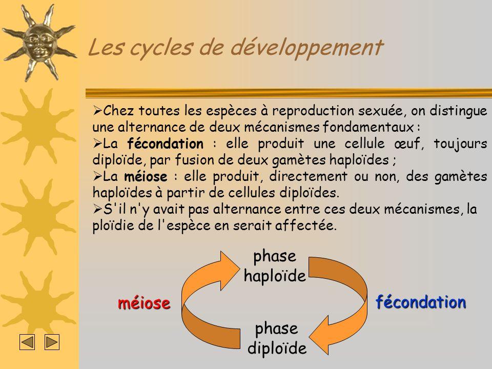 Les cycles de développement gamète HaplophaseDiplophase Cycle à diplophase dominante (exemple des Mammifères) MÉIOSEFÉCONDATION 2n n n cellule œuf cellules mères des gamètes adultes 2n n n n n n n