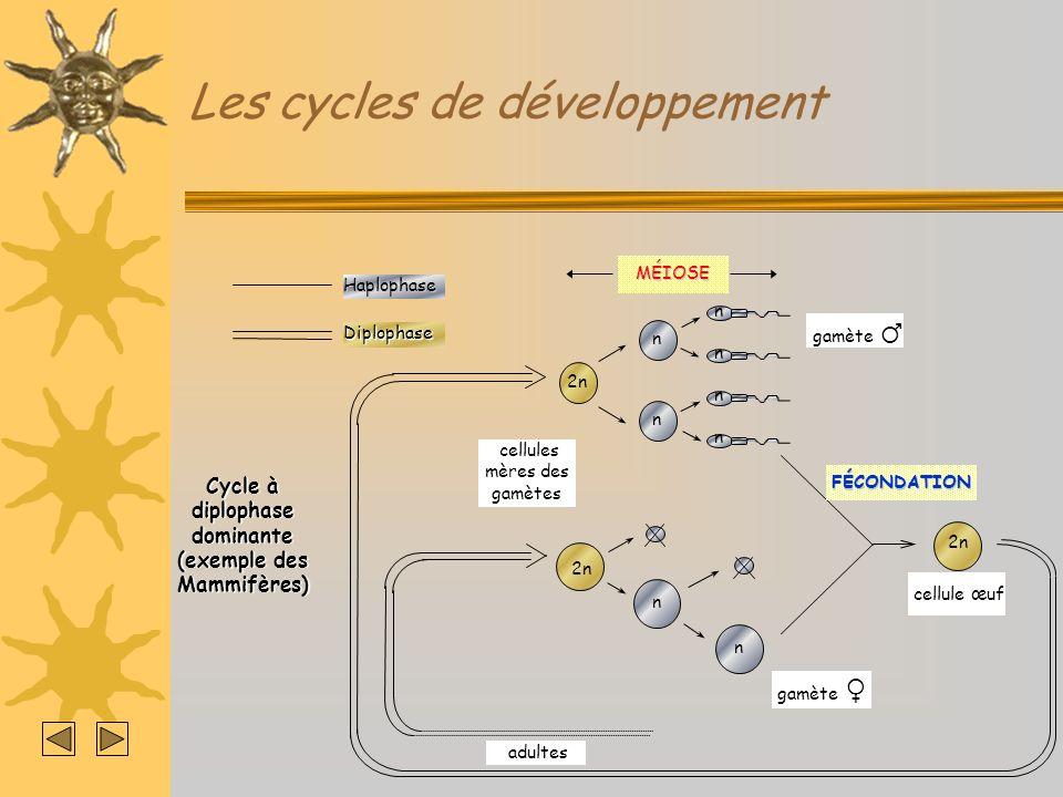 Les cycles de développementHaplophaseDiplophase Cycle à haplophase dominante (exemple des Mousses) MÉIOSE 2n cellule œuf adultes (n) gamète n n n n n n n n spores FÉCONDATION