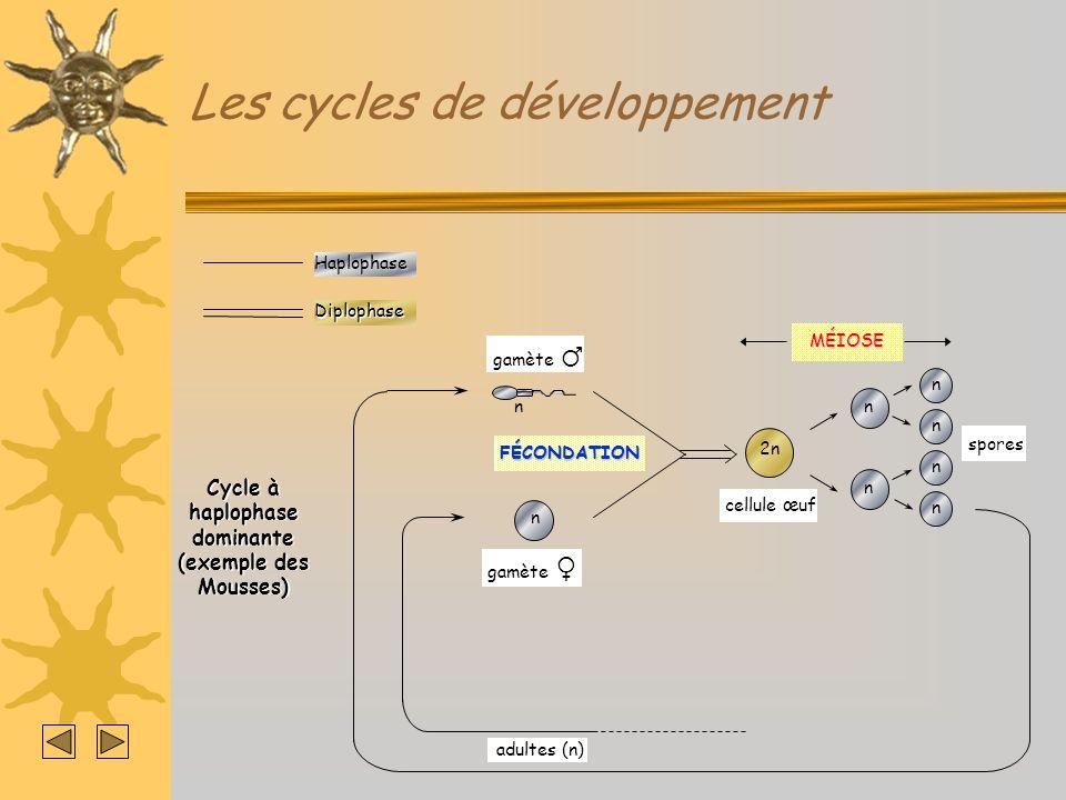 Les cycles de développementHaplophaseDiplophase Cycle à haplophase dominante (Cas de Sordaria macrospora) MÉIOSE 2n cellule œuf adultes (n) n n n n n n CARYOGAMIE Cellule - Cellule + n n MITOSE Asque à 8 spores n n n n n n n n