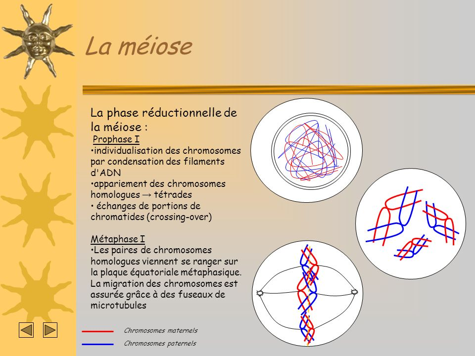 La méiose La phase réductionnelle de la méiose : Prophase I individualisation des chromosomes par condensation des filaments d ADN appariement des chromosomes homologues tétrades échanges de portions de chromatides (crossing-over) Métaphase I Les paires de chromosomes homologues viennent se ranger sur la plaque équatoriale métaphasique.