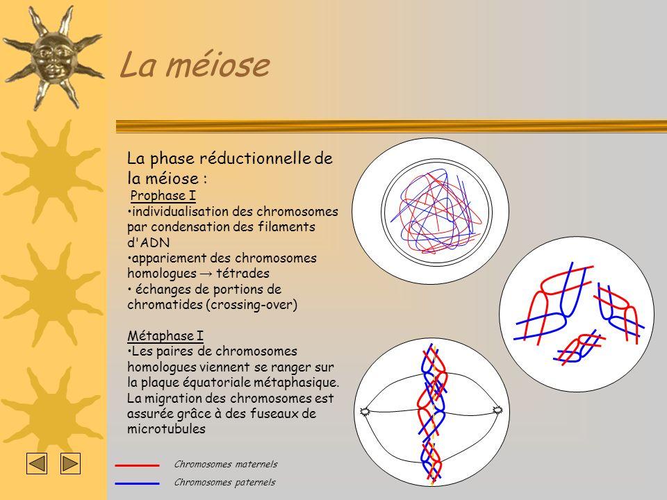 La méiose La phase réductionnelle de la méiose : Anaphase I Séparation des chromosomes en deux lots identiques de chromosomes à deux chromatides.