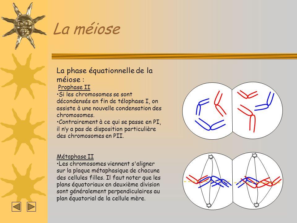 La méiose La phase équationnelle de la méiose : Anaphase II Elle est caractérisée par la séparation des 2 chromatides de chaque chromosome.
