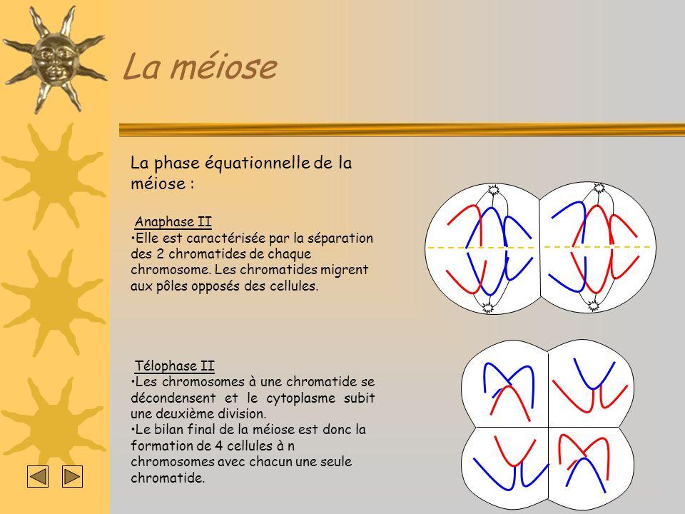 La méiose La phase équationnelle de la méiose : Anaphase II Elle est caractérisée par la séparation des 2 chromatides de chaque chromosome. Les chroma