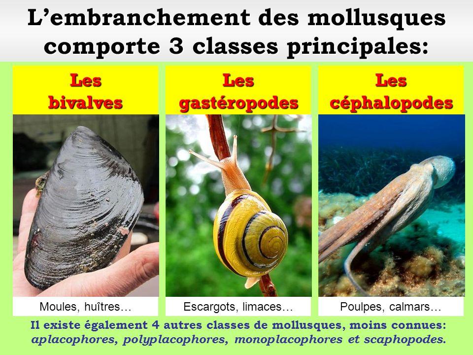 Lembranchement des mollusques comporte 3 classes principales: Les bivalves Les gastéropodes Les céphalopodes Escargots, limaces…Moules, huîtres…Poulpes, calmars…