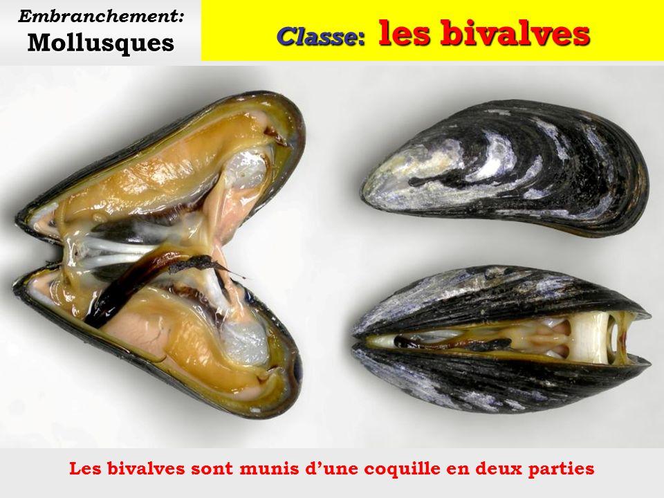 Lembranchement des mollusques comporte 3 classes principales: Les bivalves Il existe également 4 autres classes de mollusques, moins connues: aplacophores, polyplacophores, monoplacophores et scaphopodes.