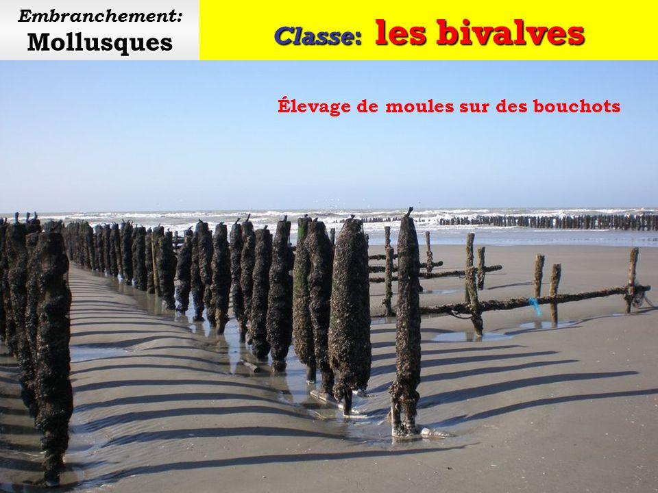 Classe: les bivalves Mollusques Embranchement: Mollusques Les bivalves sont munis dune coquille en deux parties
