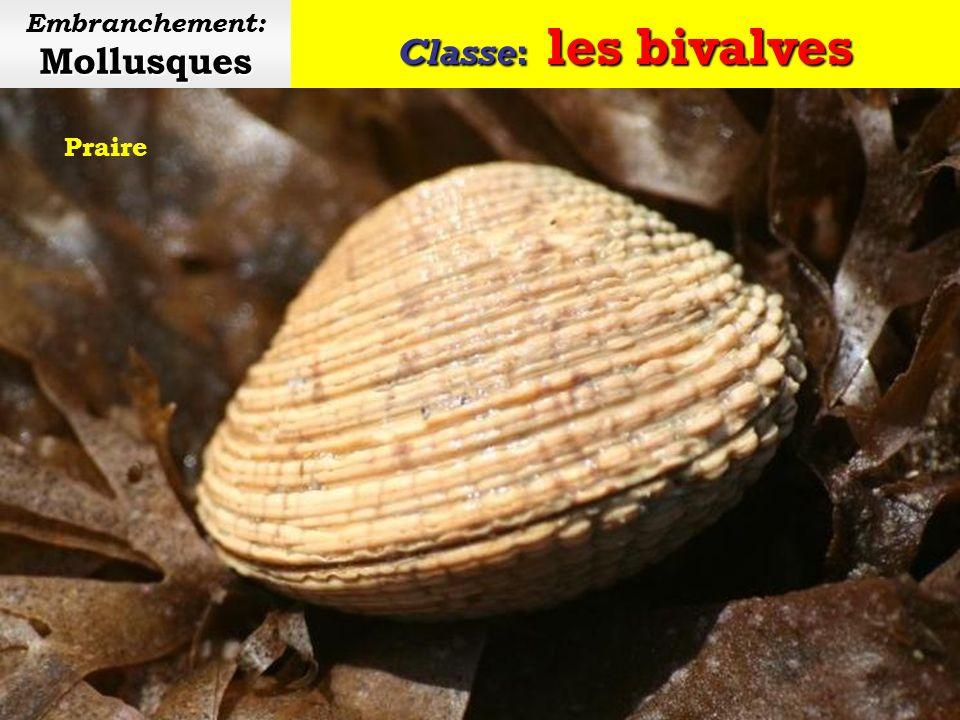 Classe: les bivalves Mollusques Embranchement: Mollusques Palourde