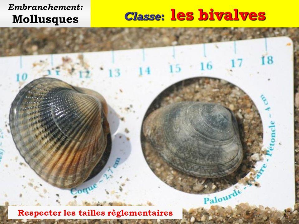 Classe: les bivalves Mollusques Embranchement: Mollusques Praire
