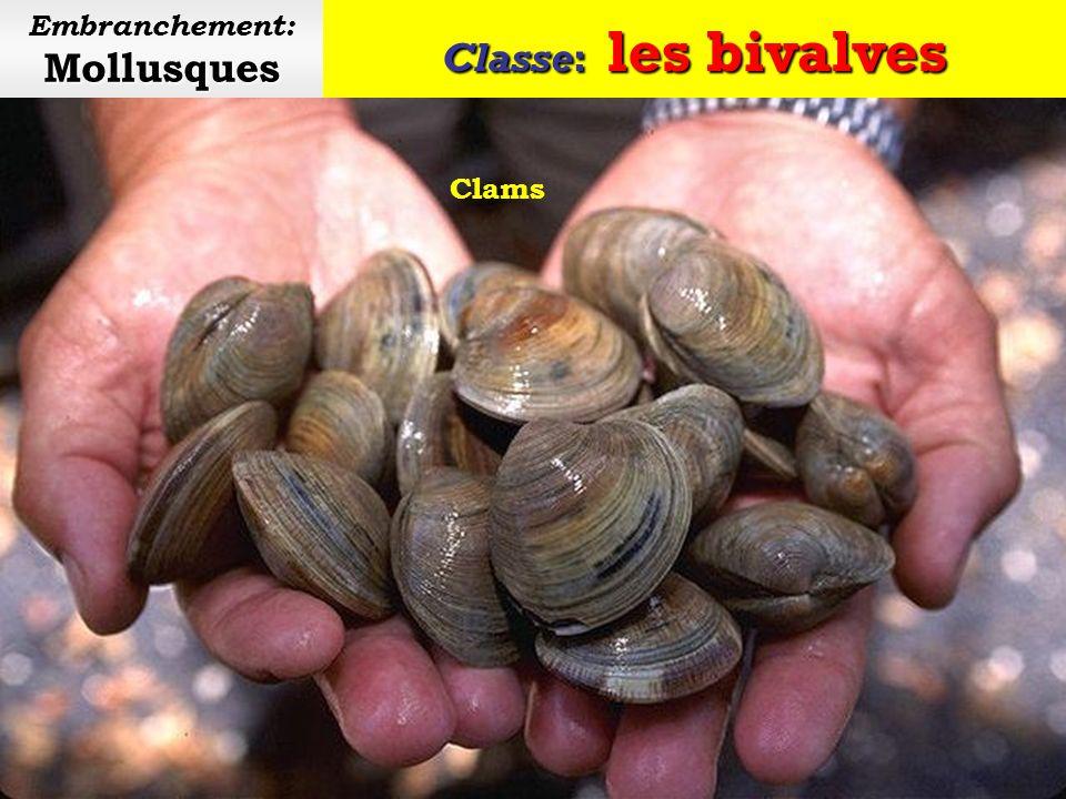 Classe: les bivalves Mollusques Embranchement: Mollusques Amande de mer