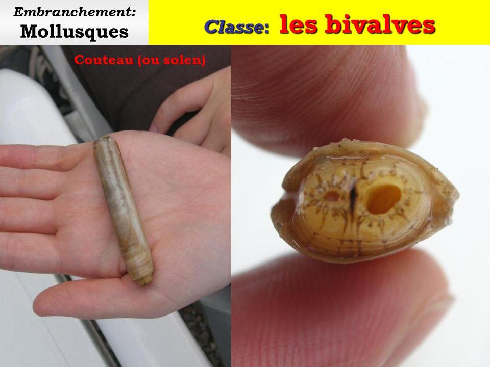 Classe: les bivalves Mollusques Embranchement: Mollusques Pêche à la telline