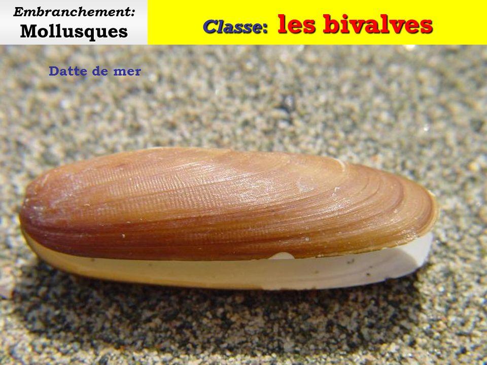 Classe: les bivalves Mollusques Embranchement: Mollusques Couteau (ou solen)