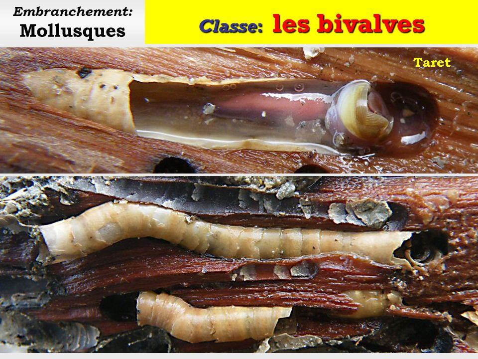 Classe: les bivalves Mollusques Embranchement: Mollusques Datte de mer