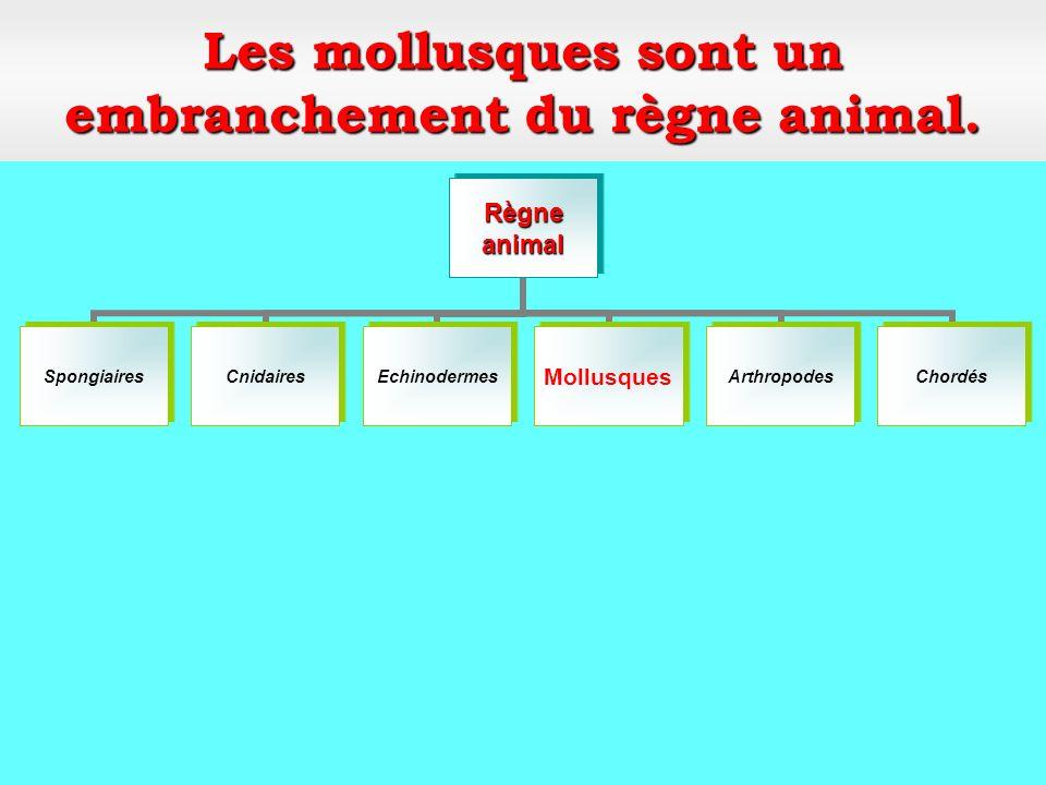 Classe: les gastéropodes Mollusques Embranchement: Mollusques Pourpre (ou murex)