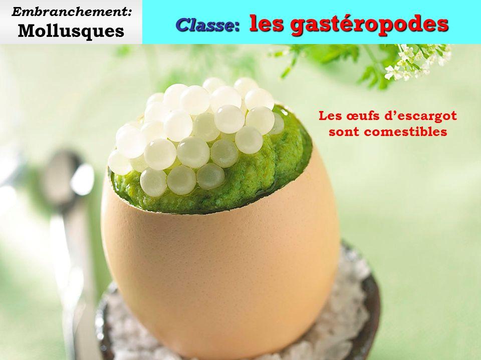 Classe: les gastéropodes Mollusques Embranchement: Mollusques Œufs descargot