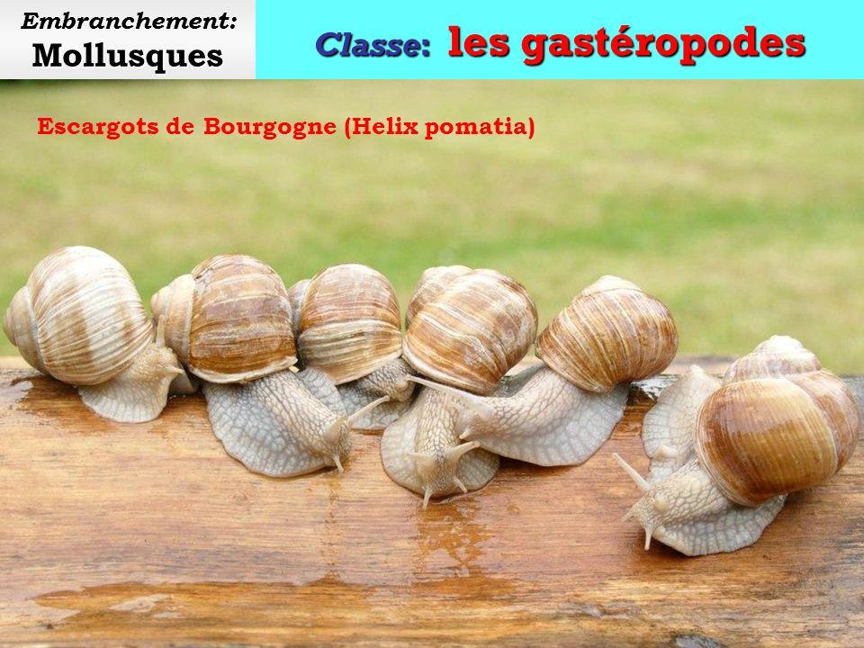 Classe: les gastéropodes Mollusques Embranchement: Mollusques Les œufs descargot sont comestibles