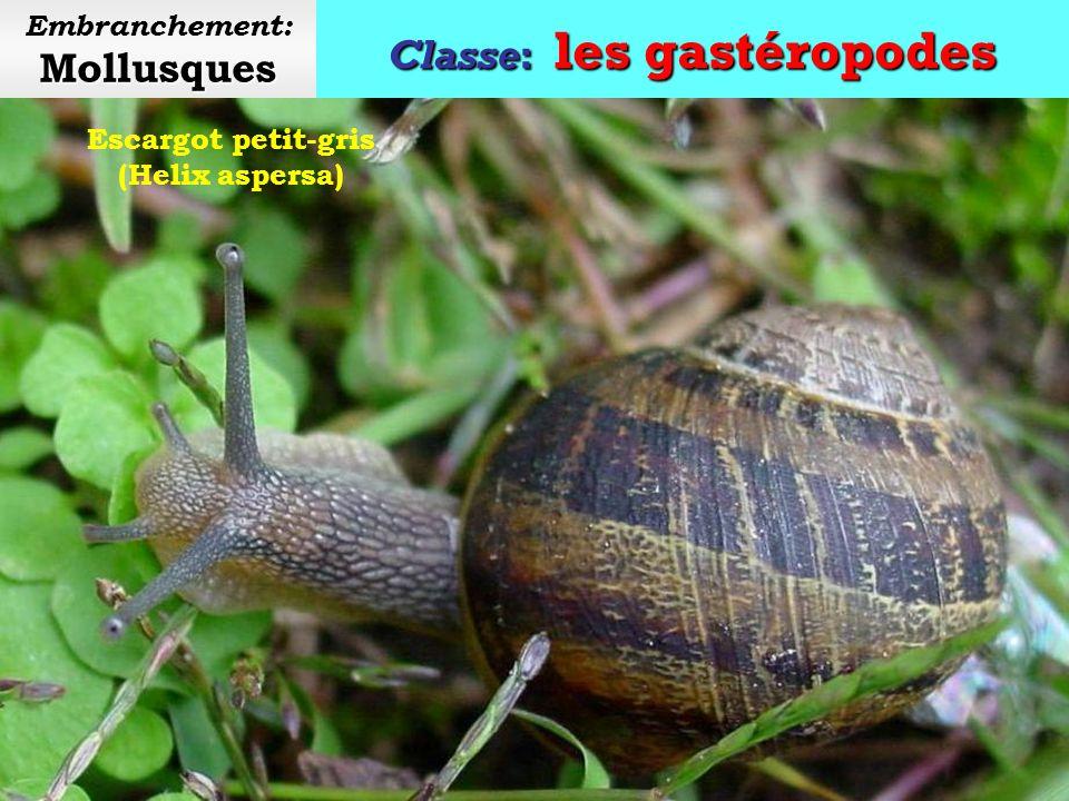Classe: les gastéropodes Mollusques Embranchement: Mollusques Escargots de Bourgogne