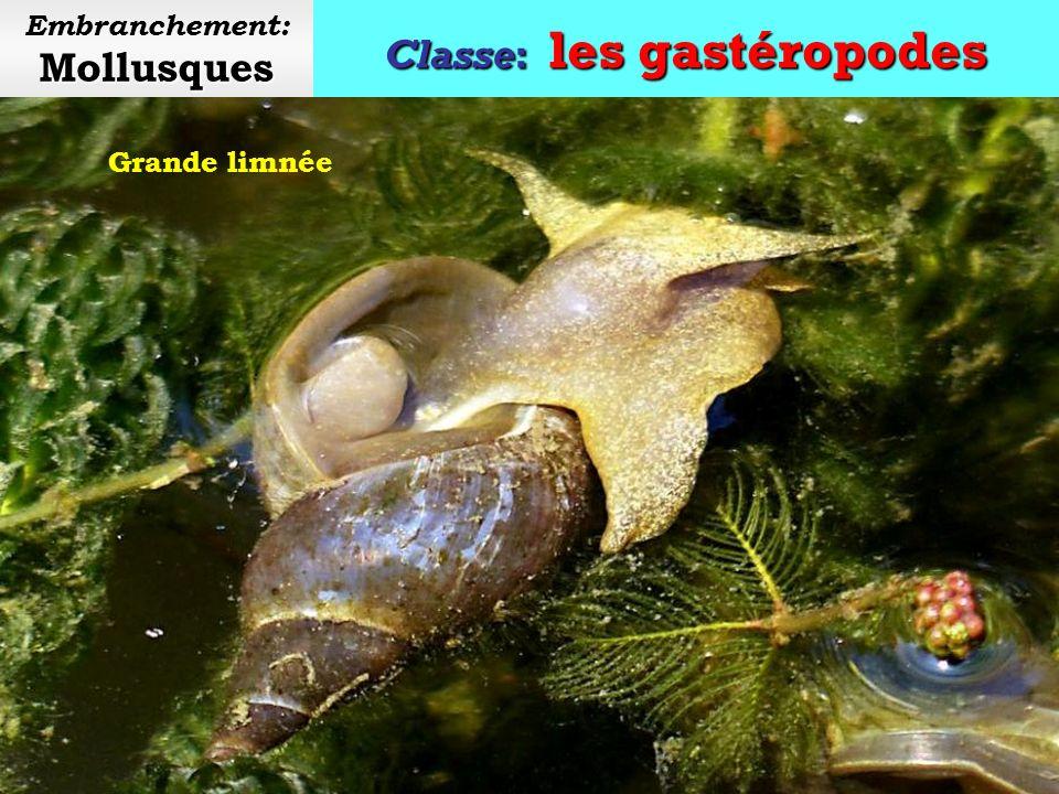 Classe: les gastéropodes Mollusques Embranchement: Mollusques Achatine